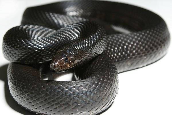 black_snake_l1